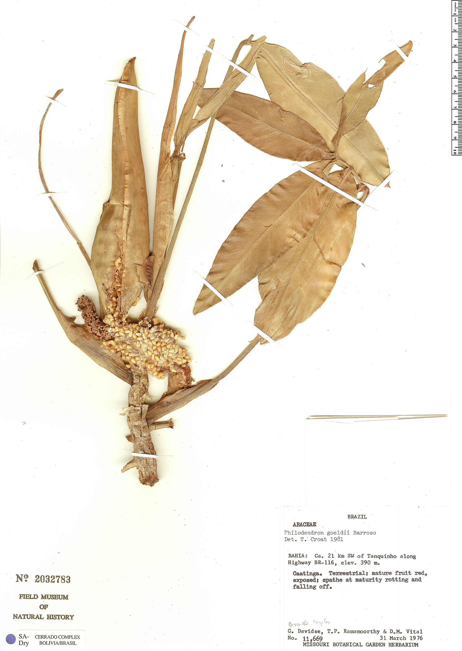 Specimen: Philodendron leal-costae
