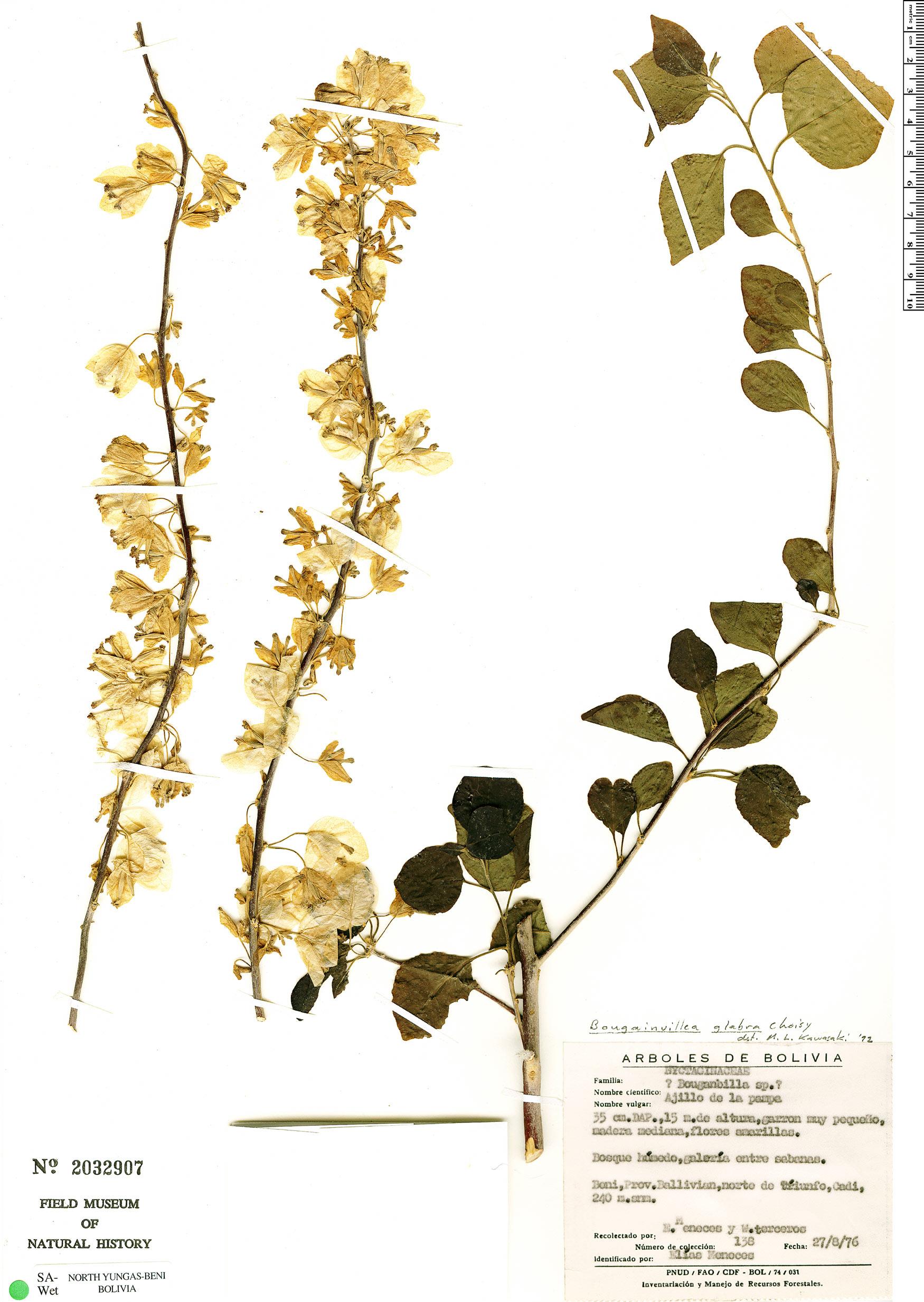 Espécimen: Bougainvillea glabra