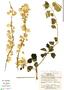 Bougainvillea glabra Choisy, Bolivia, E. Meneces 138, F
