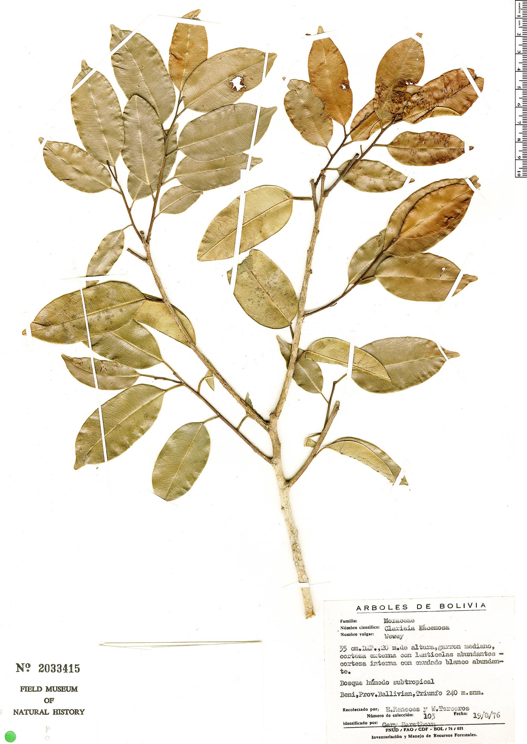 Espécime: Clarisia racemosa