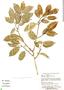 Clarisia racemosa Ruíz & Pav., Bolivia, E. Meneces 103, F