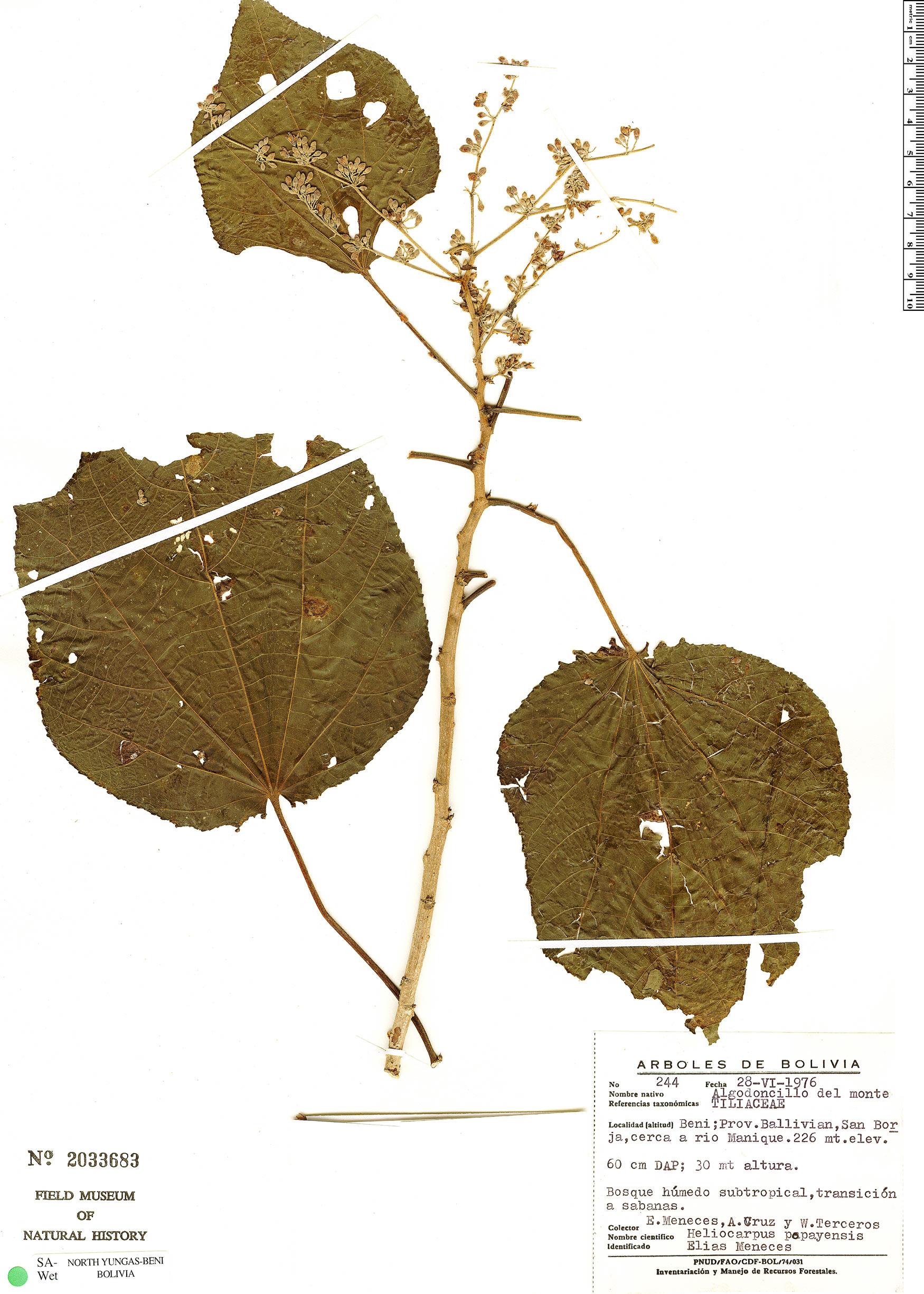 Specimen: Heliocarpus americanus