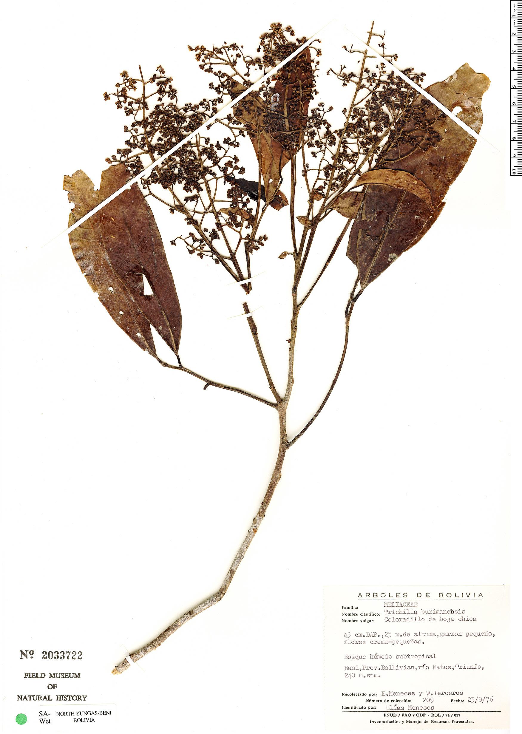 Specimen: Trichilia pleeana