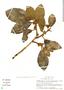 Ficus trigona L. f., Peru, S. Smith 1396, F