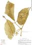 Psiguria ternata (Roem.) C. Jeffrey, Peru, S. Smith 1644, F