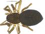 Disembolus corneliae female habitus