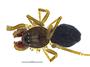 Disembolus corneliae male habitus