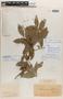 Sloanea hirsuta (Schott) Planch. ex Benth. subsp. hirsuta, BRAZIL, C. F. P. Martius 831, F