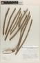 Ipomoea hederifolia L., COLOMBIA, K. von Sneidern 4705, F