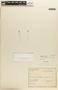 Utricularia L., BRAZIL, W. A. Egler 298, F