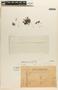 Utricularia L., URUGUAY, W. G. F. Herter 766a, F