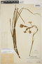 Agave polianthes Thiede & Eggli, PERU, Ll. Williams 4501, F