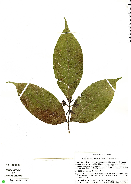 Specimen: Appunia odontocalyx