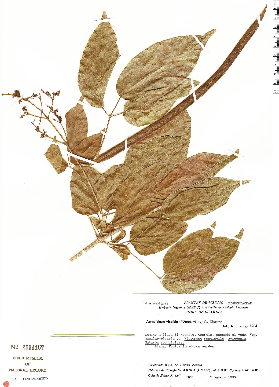 Specimen: Fridericia viscida