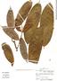 Perebea longepedunculata, Peru, A. H. Gentry 15676, F