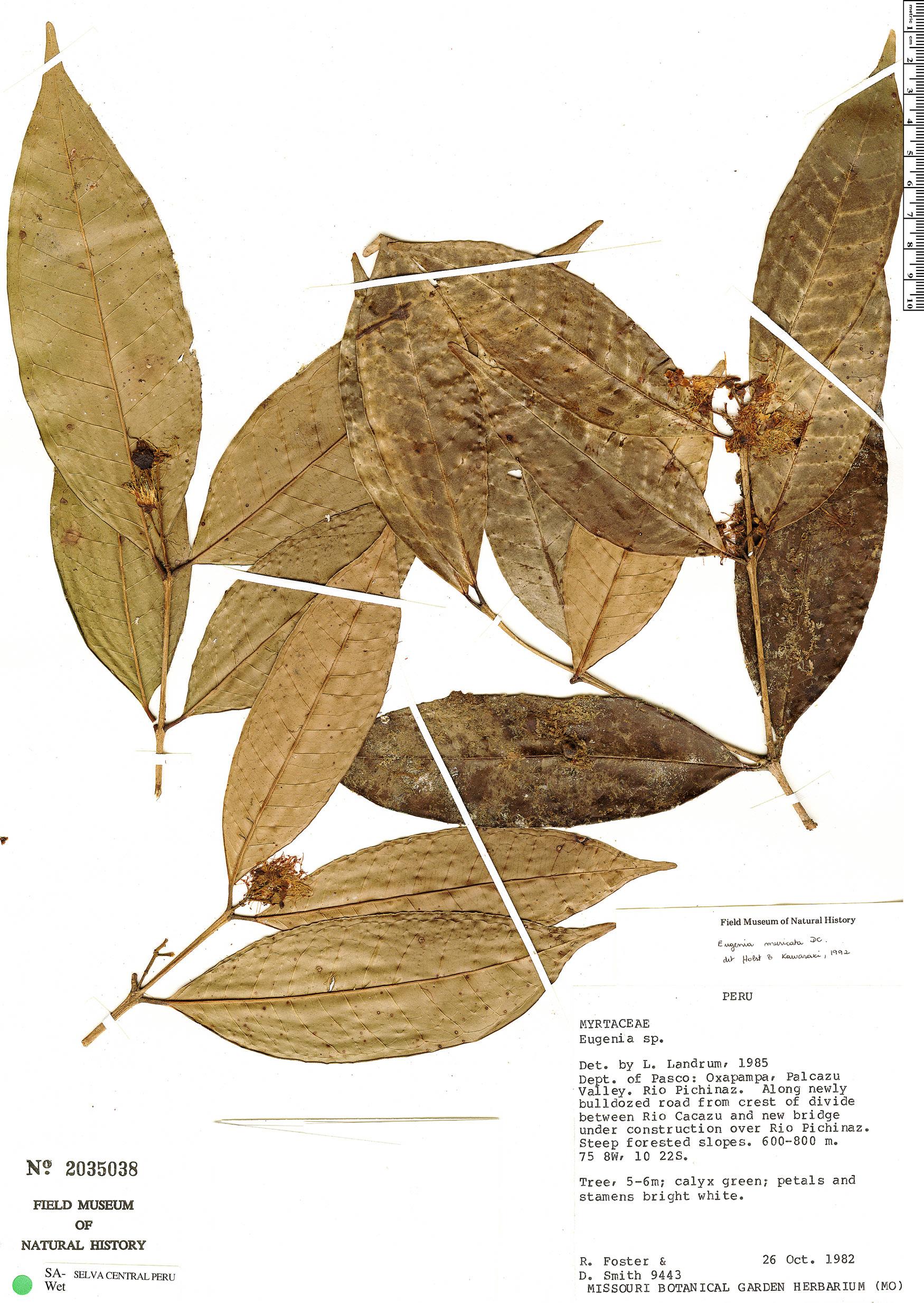 Specimen: Eugenia muricata