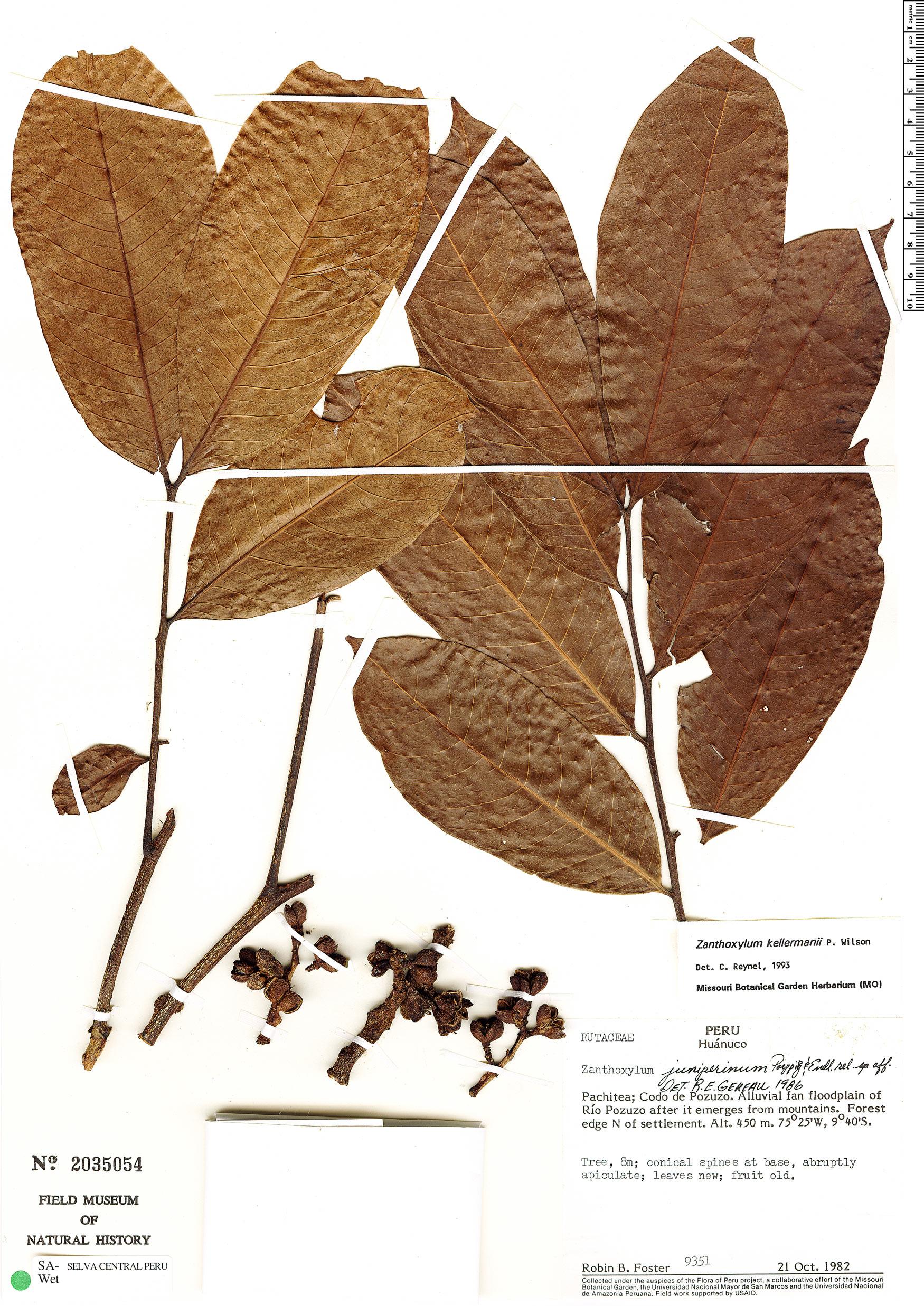 Specimen: Zanthoxylum kellermanii