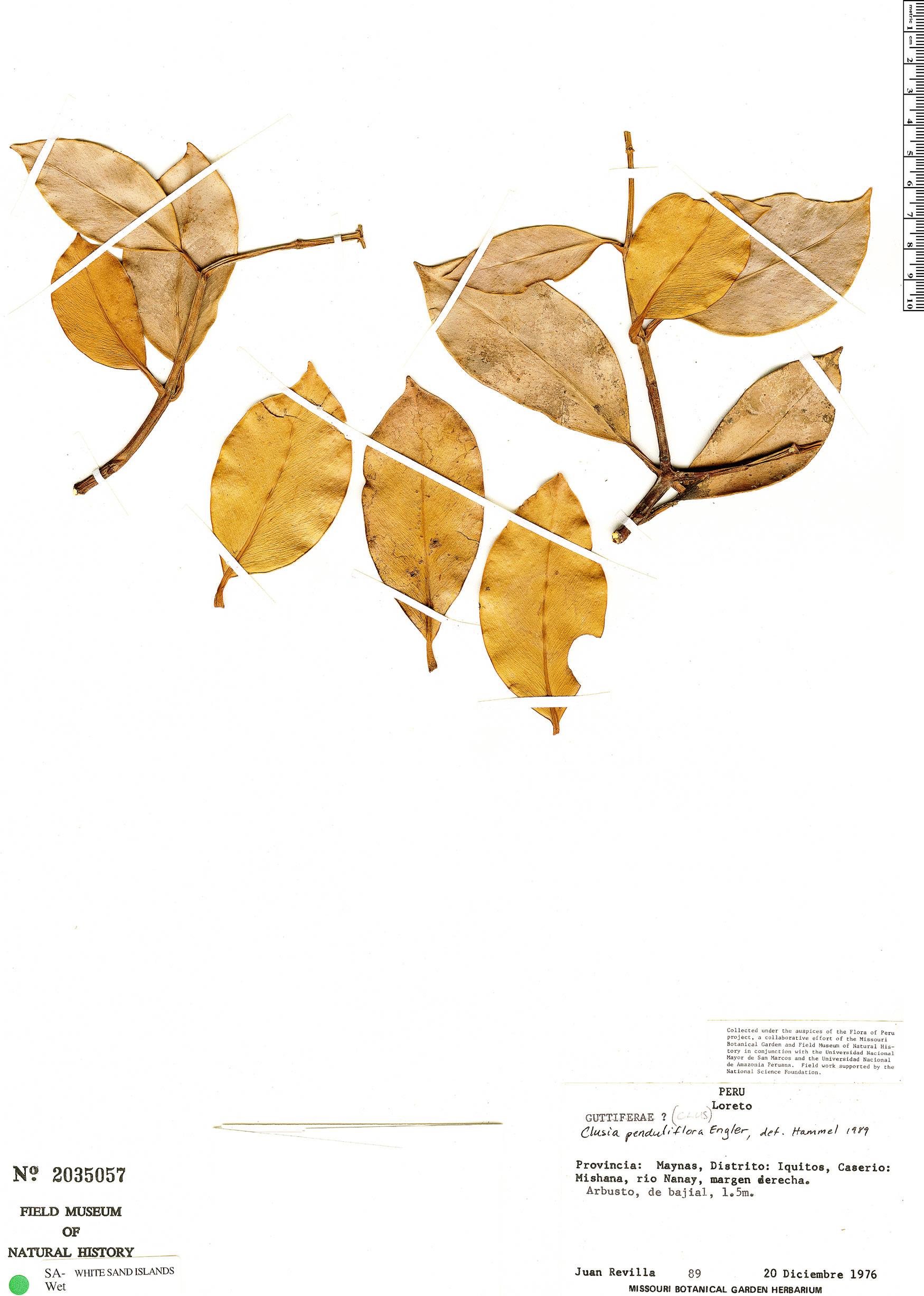 Specimen: Clusia penduliflora