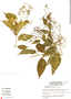Tournefortia maculata Jacq., Mexico, R. Cedillo T. 808, F