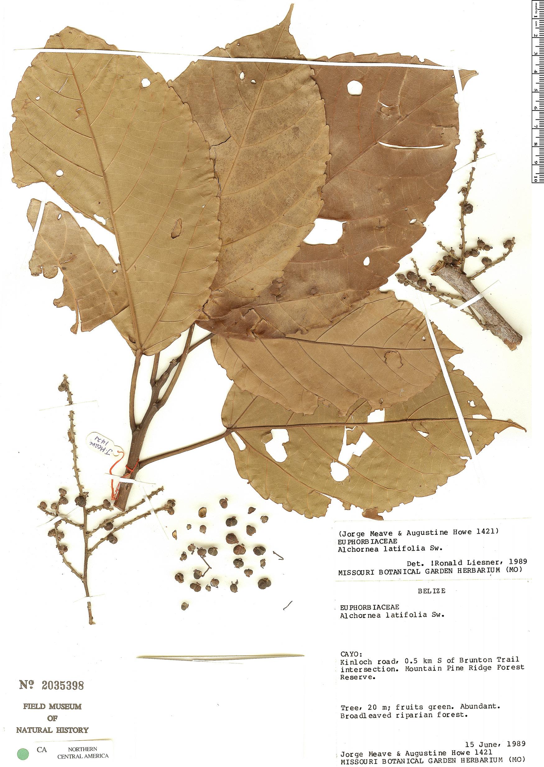 Specimen: Alchornea latifolia