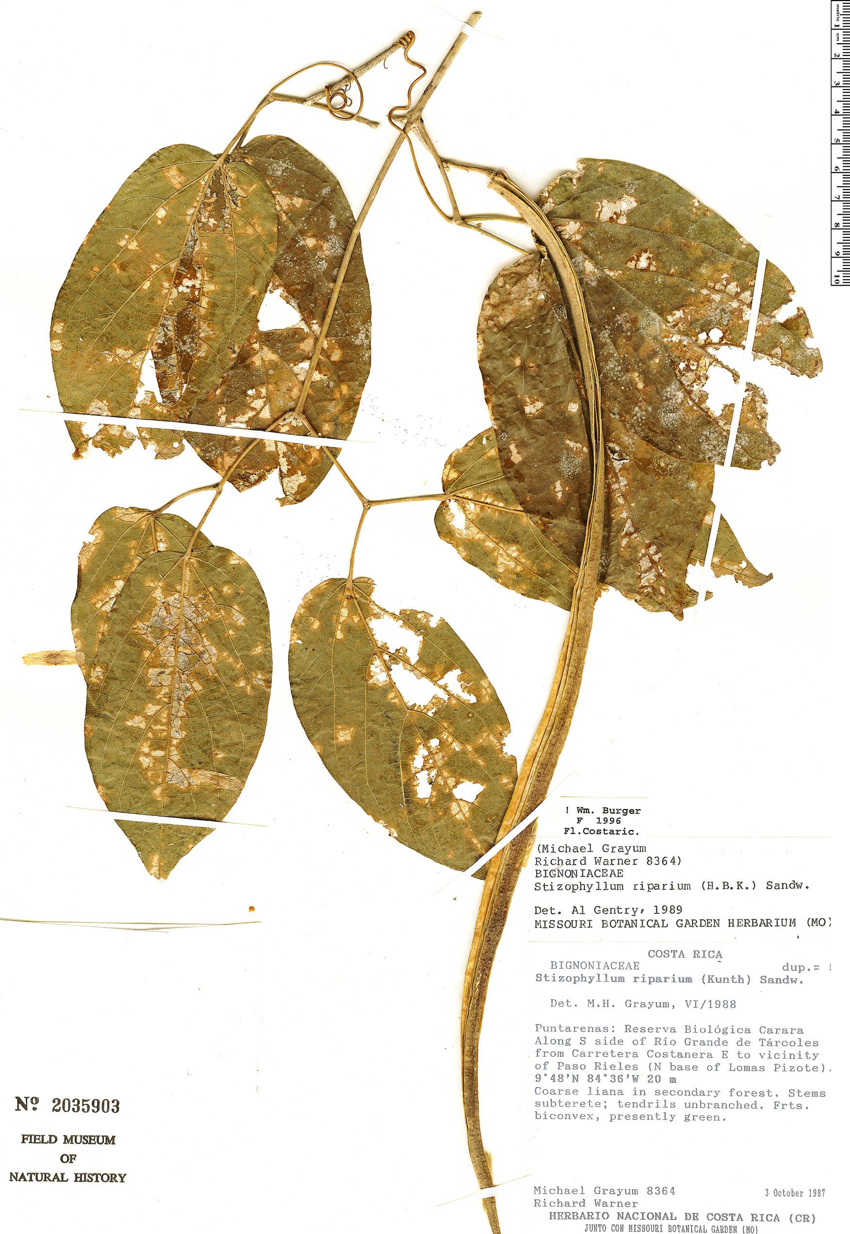 Specimen: Stizophyllum riparium