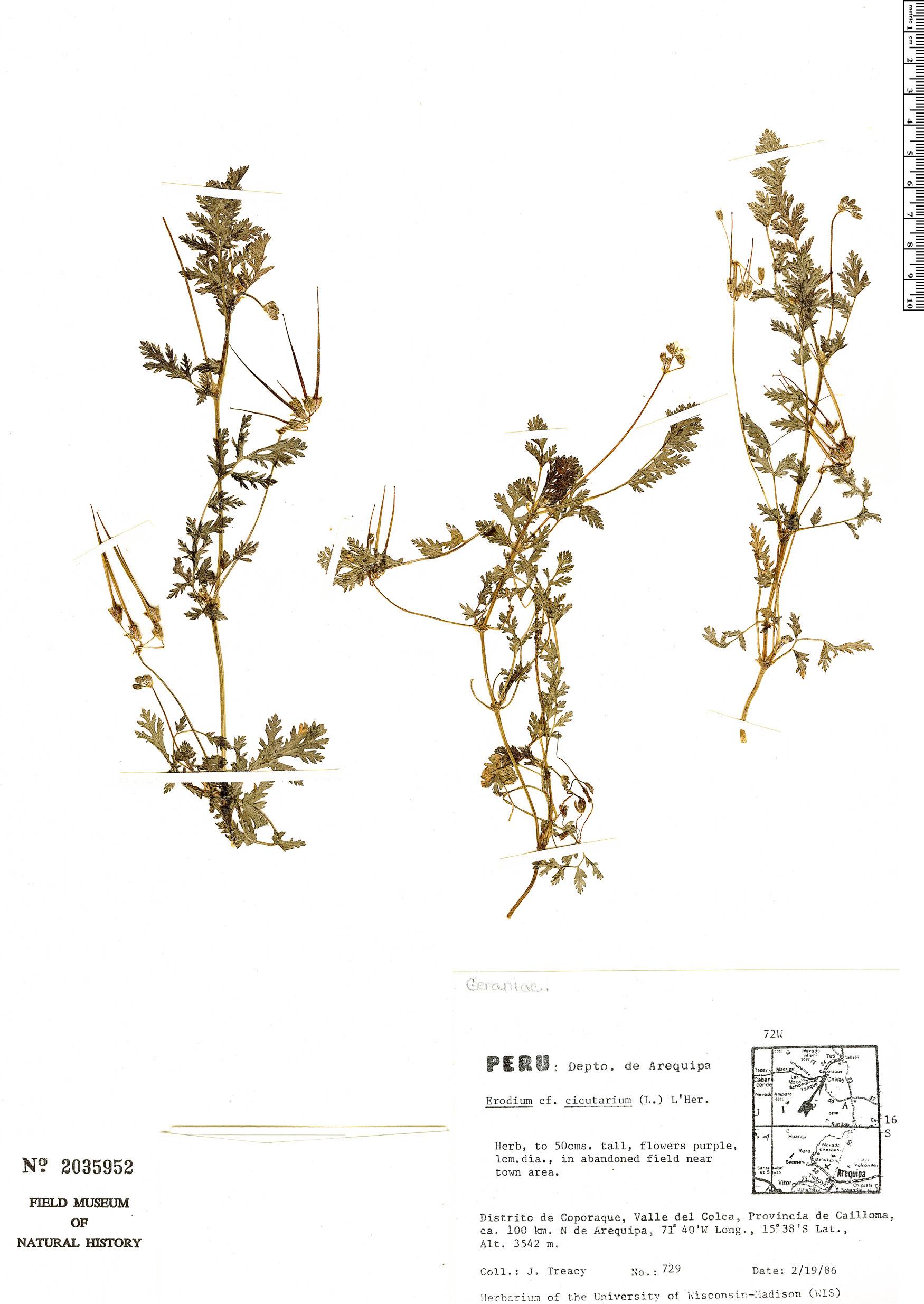 Specimen: Erodium cicutarium