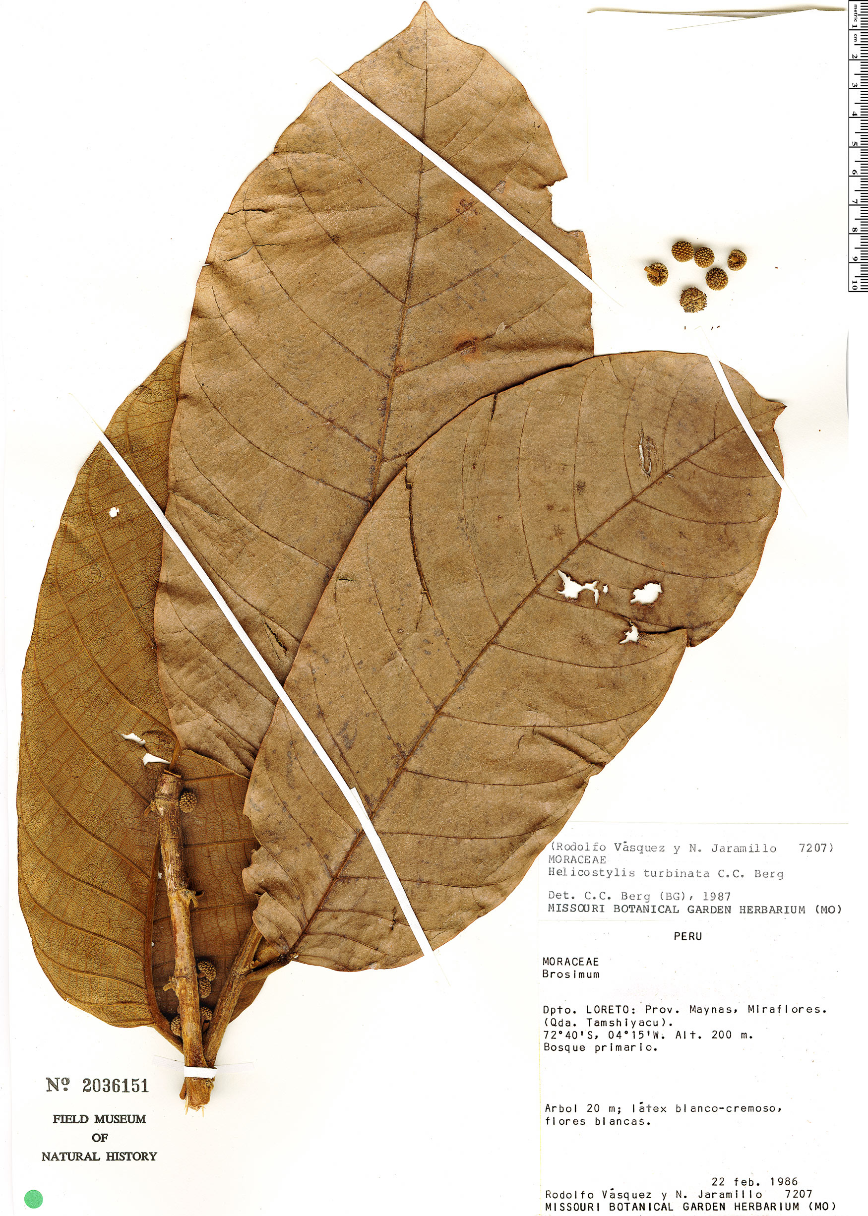 Specimen: Helicostylis turbinata