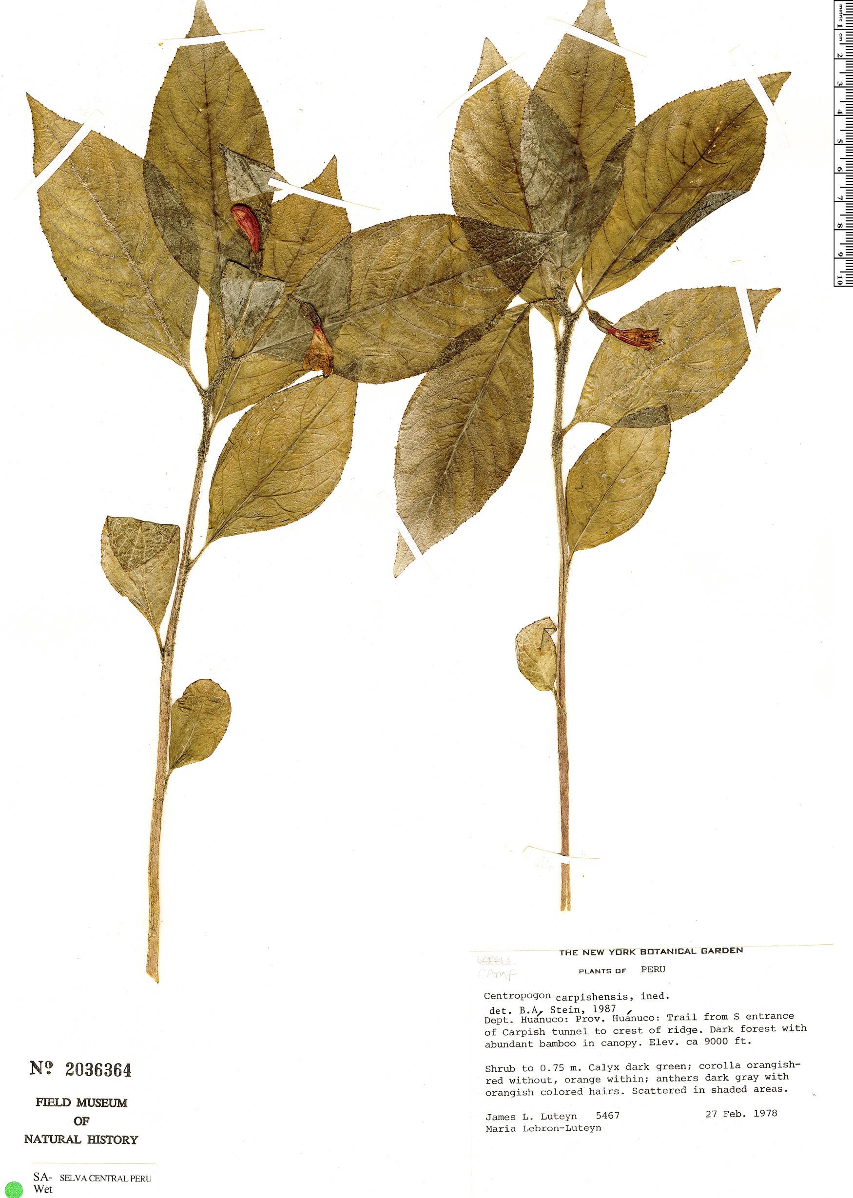 Specimen: Centropogon carpishensis
