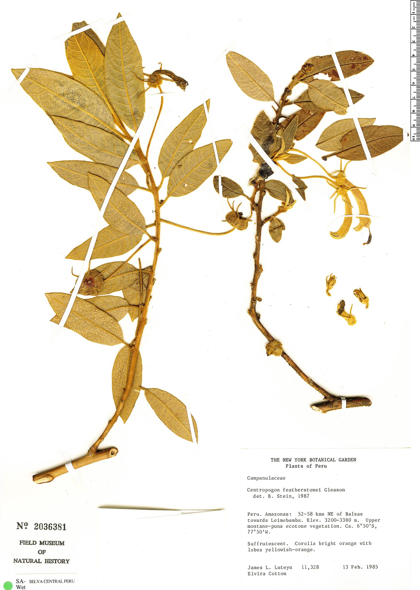 Specimen: Centropogon featherstonei