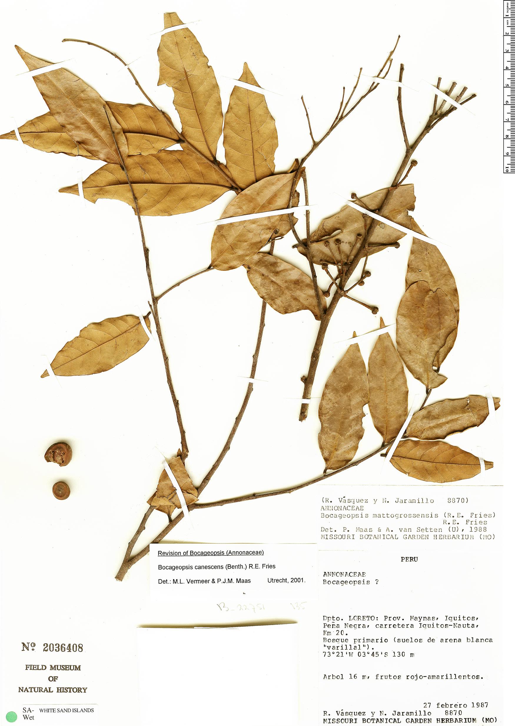 Specimen: Bocageopsis canescens