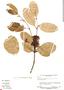 Tontelea nectandrifolia (A. C. Sm.) A. C. Sm., Suriname, B. Maguire 24871, F