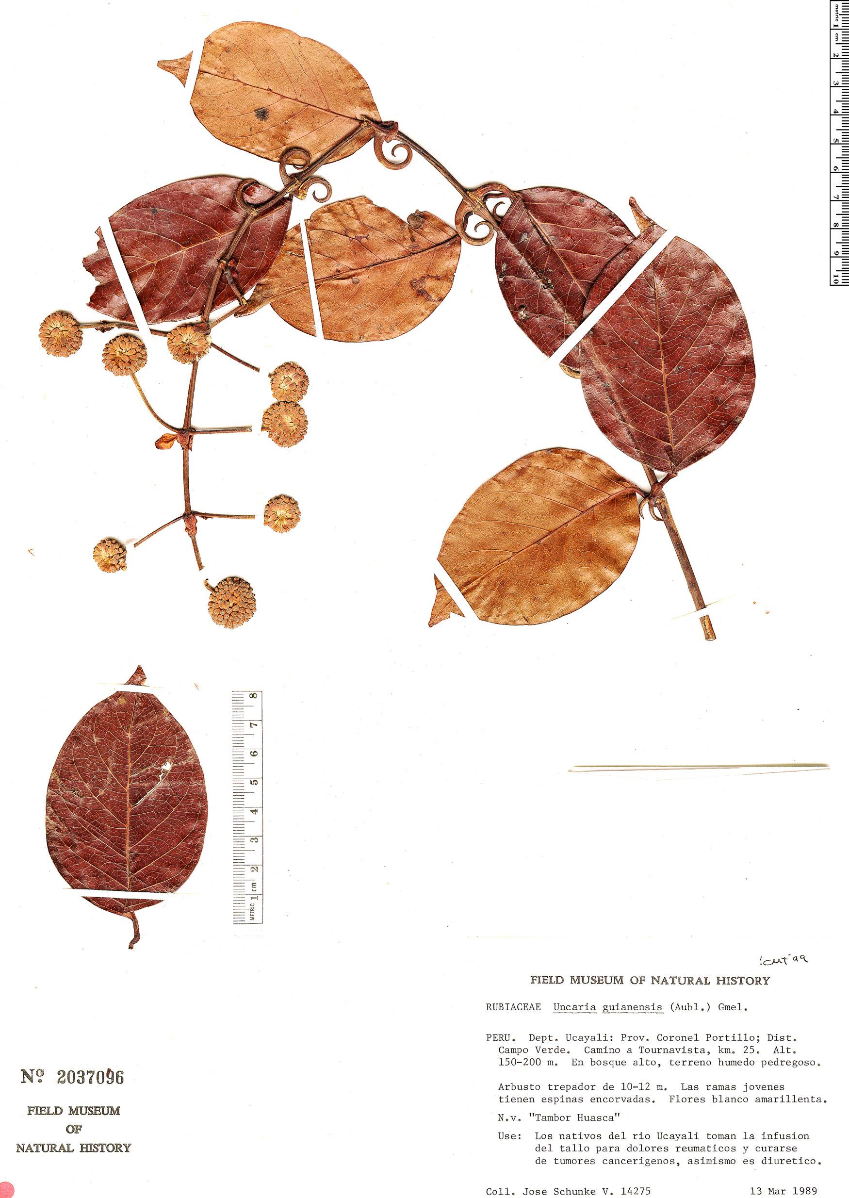 Specimen: Uncaria guianensis