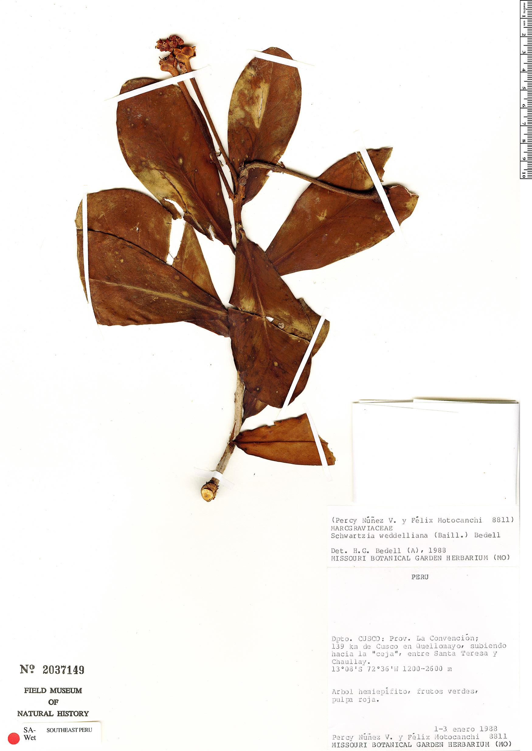 Specimen: Schwartzia weddelliana