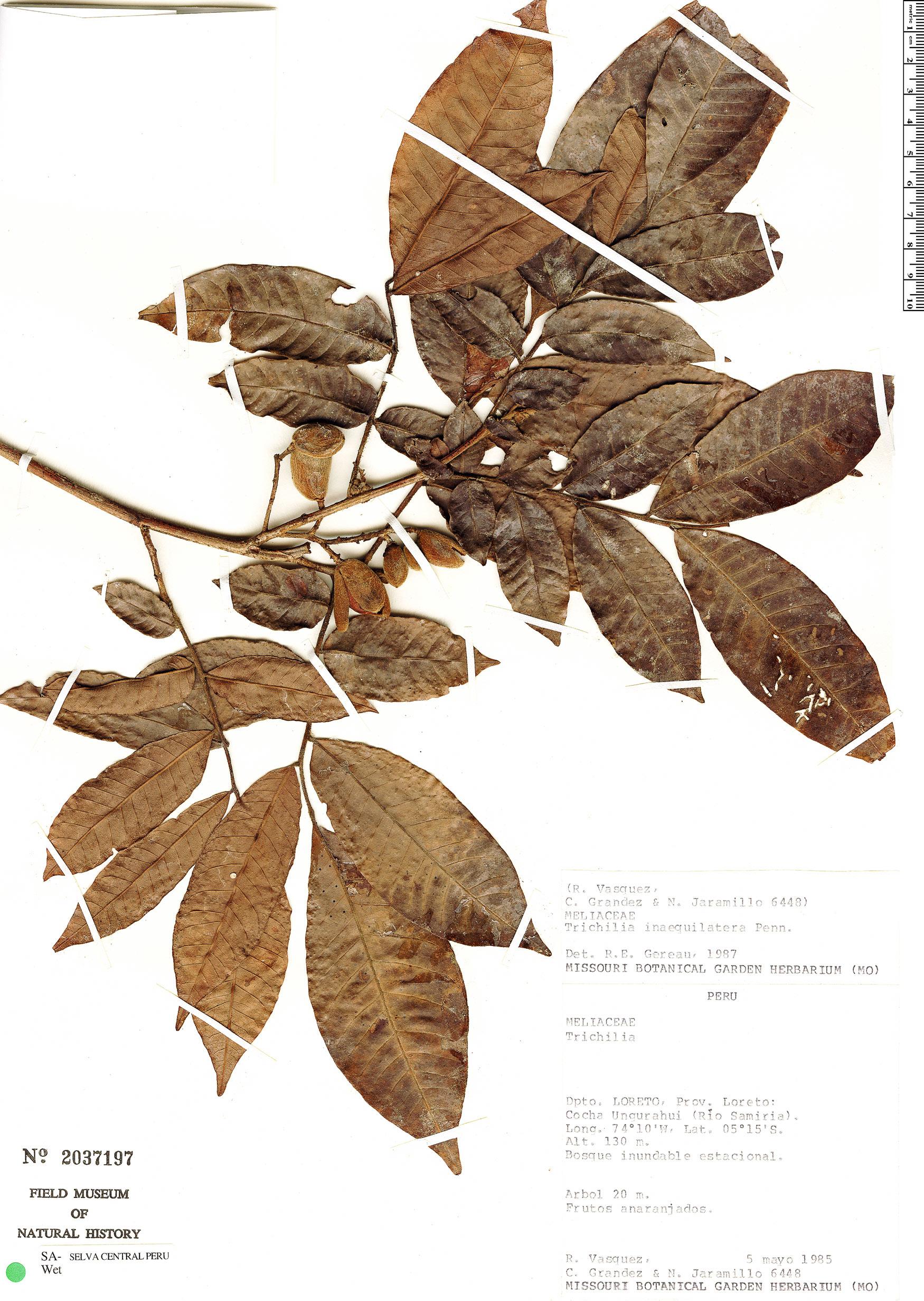 Specimen: Trichilia inaequilatera