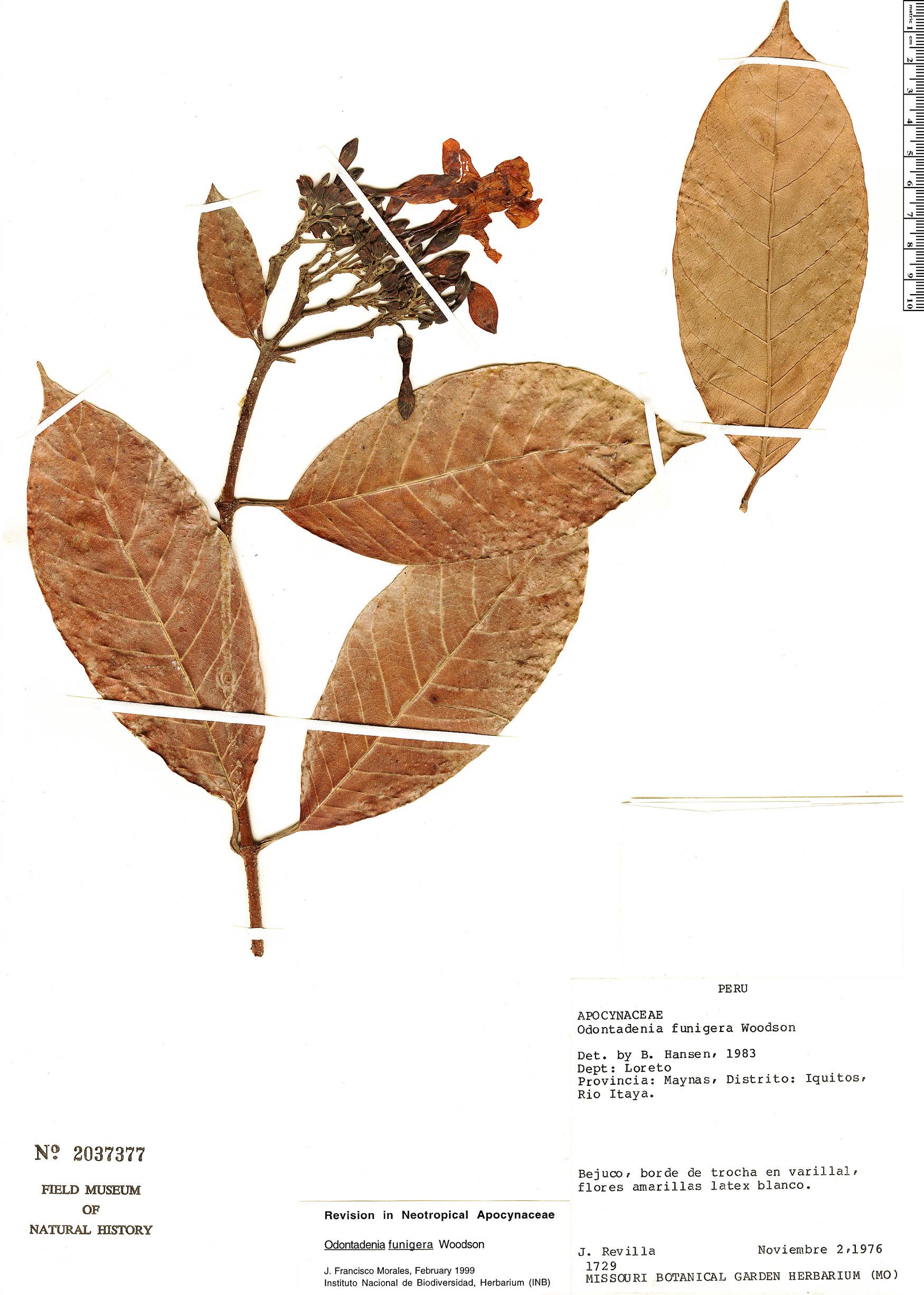 Specimen: Odontadenia funigera