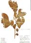 Trichilia inaequilatera, Peru, Rod. Vásquez 131, F