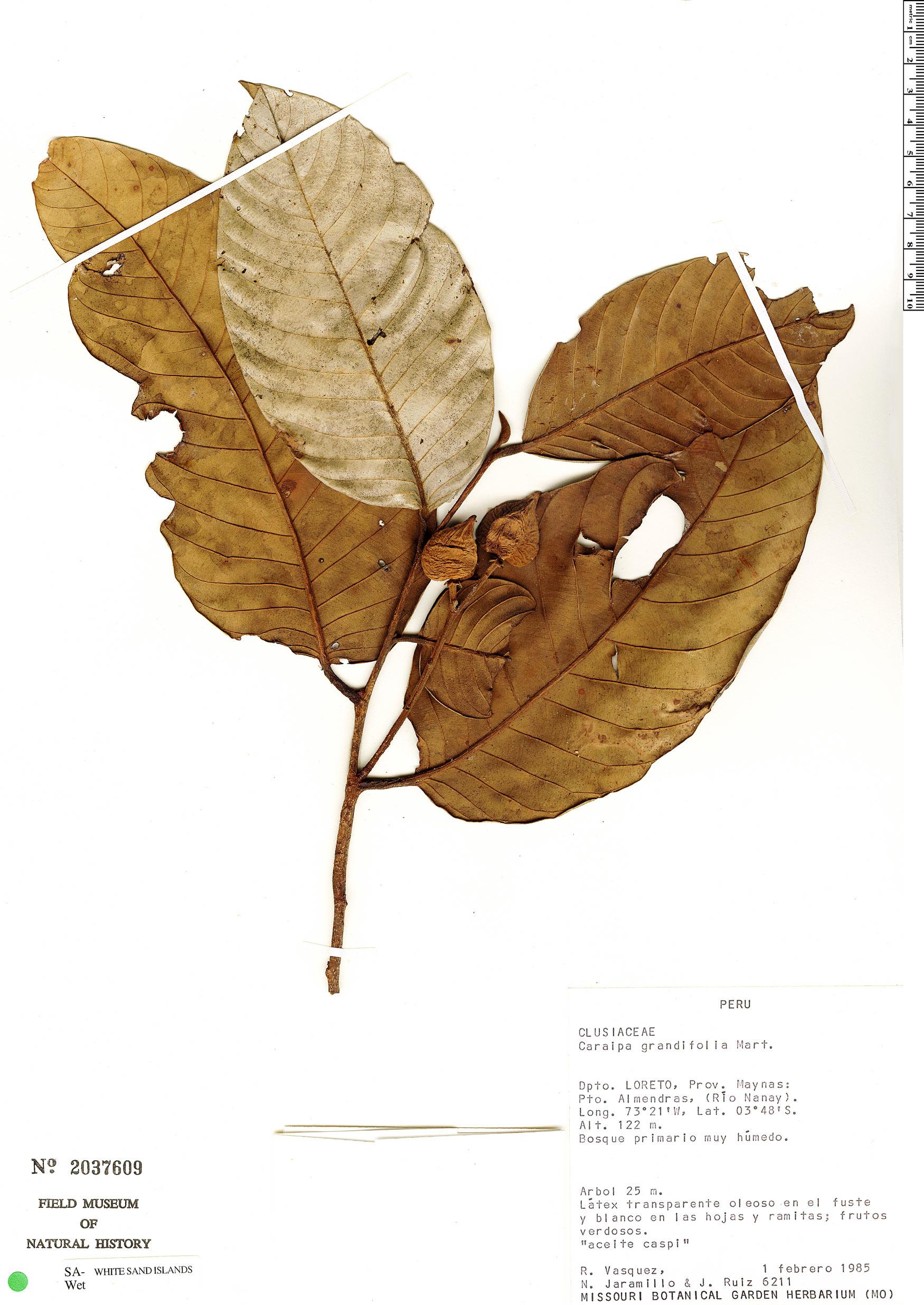 Specimen: Caraipa grandifolia