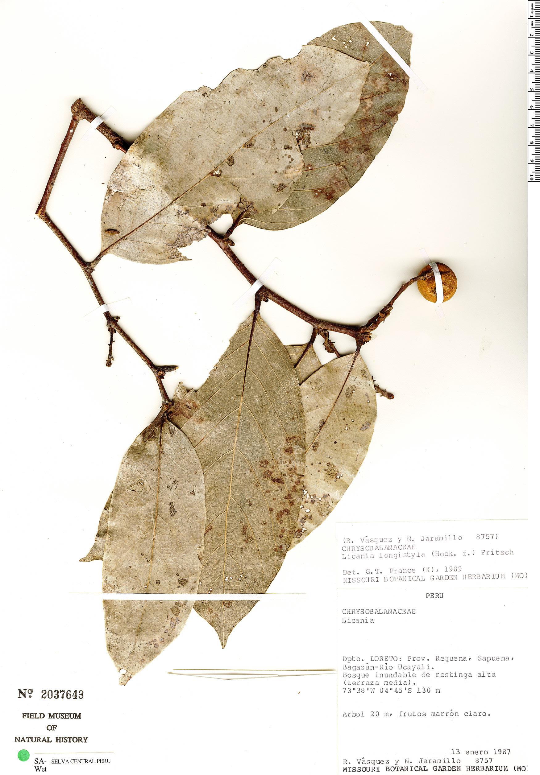 Specimen: Licania longistyla