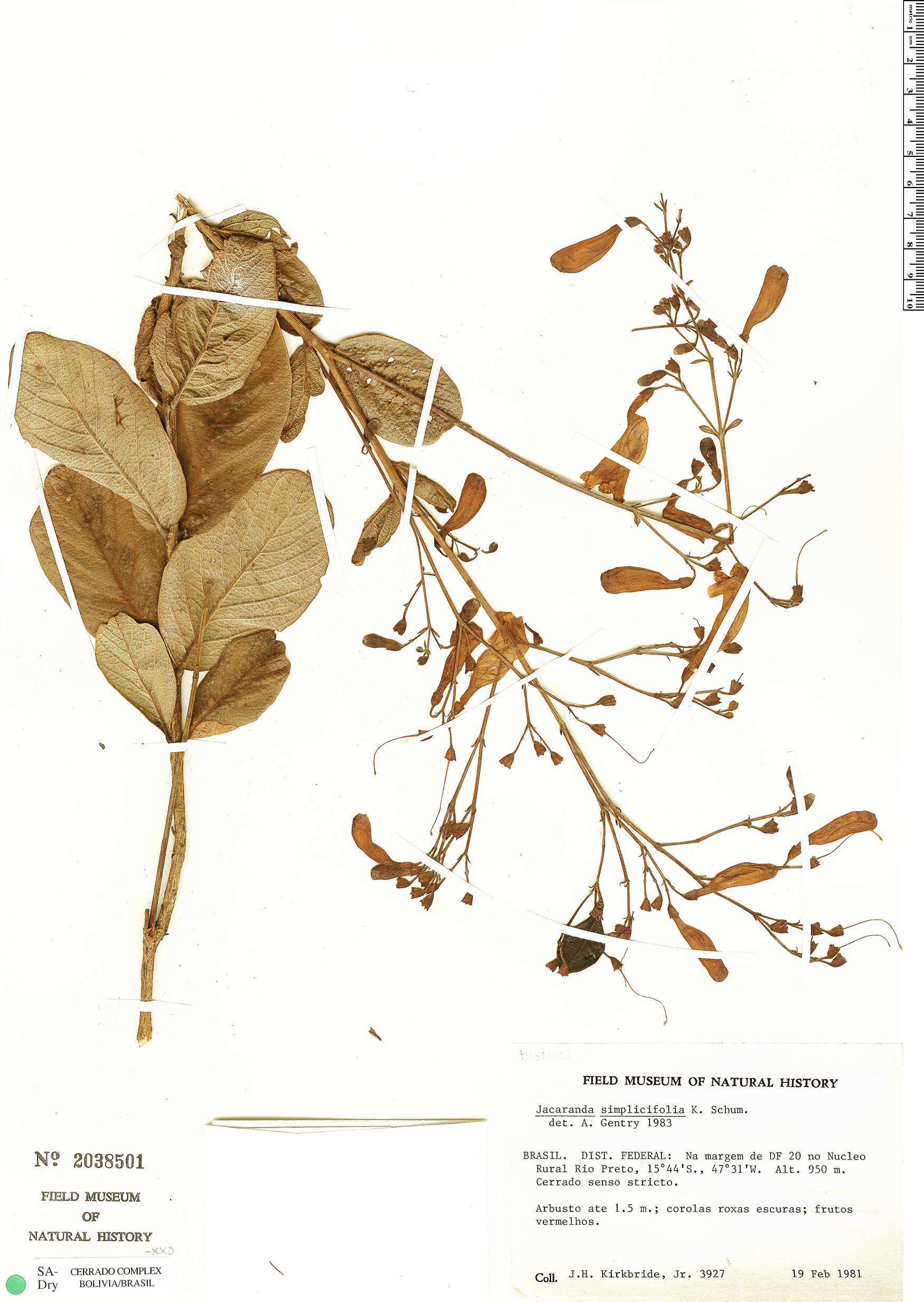 Specimen: Jacaranda simplicifolia