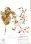 Jacaranda simplicifolia Schum., Brazil, J. H. Kirkbride, Jr. 3927, F