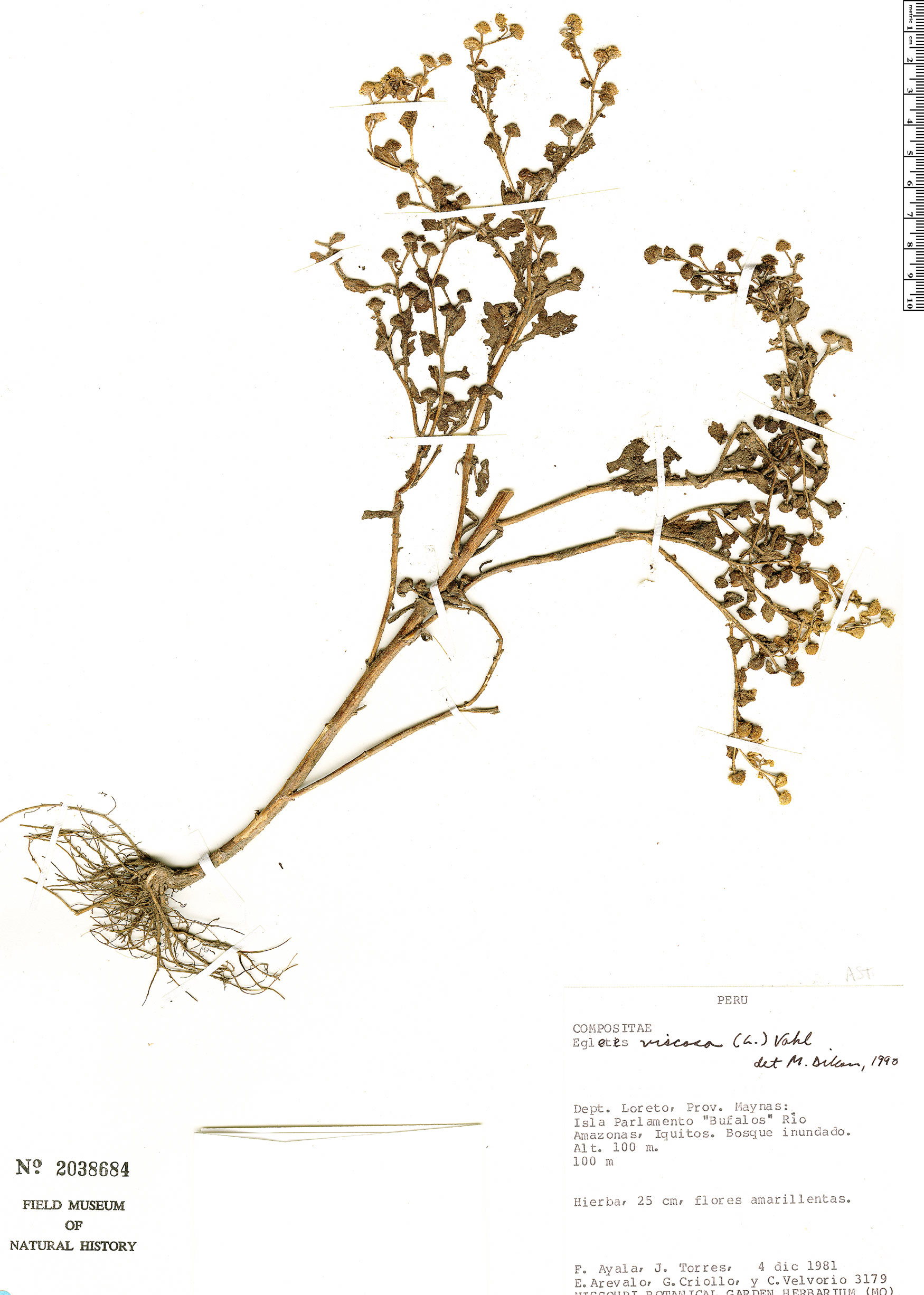 Specimen: Egletes viscosa