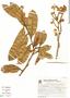 Couratari macrosperma A. C. Sm., Brazil, G. G. Hatschbach 46953, F