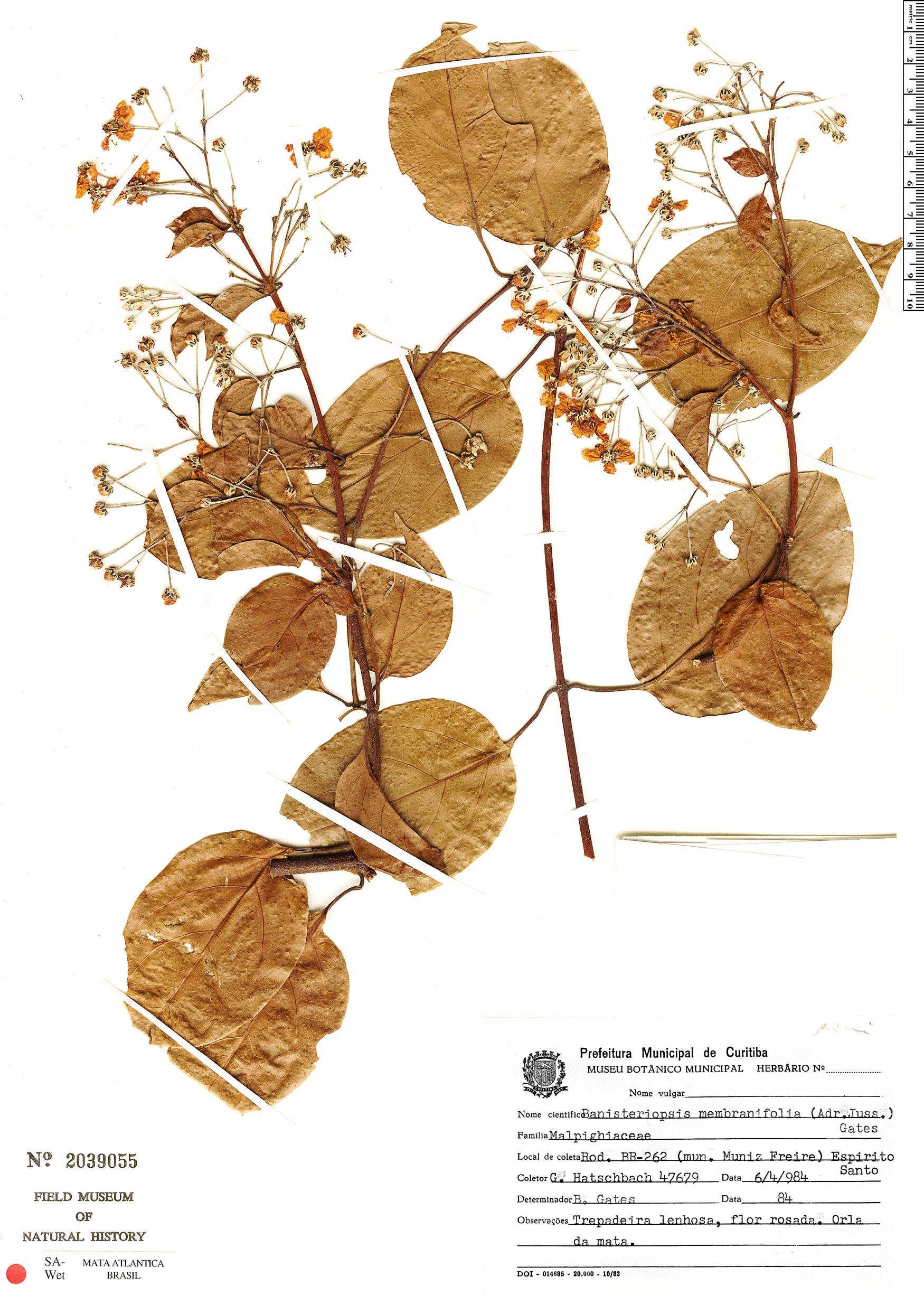Specimen: Banisteriopsis membranifolia