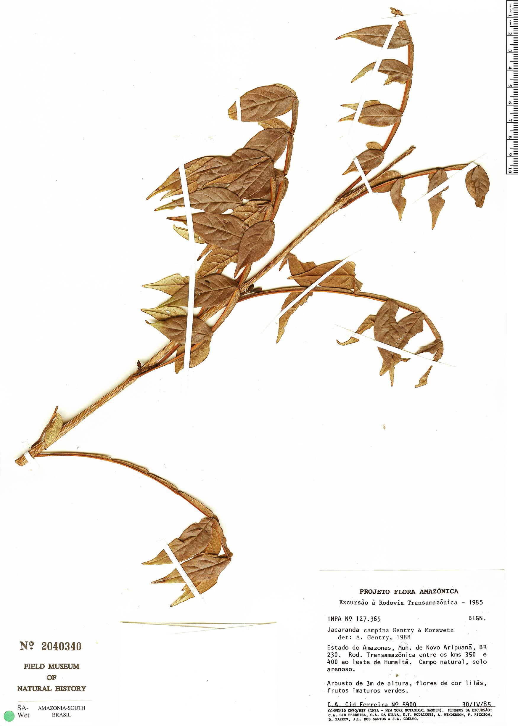 Espécimen: Jacaranda campinae