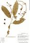 Couratari atrovinosa Prance, Brazil, M. Nee 34842, F