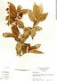 Psidium guajava L., Panama, N. C. Garwood 2980A, F