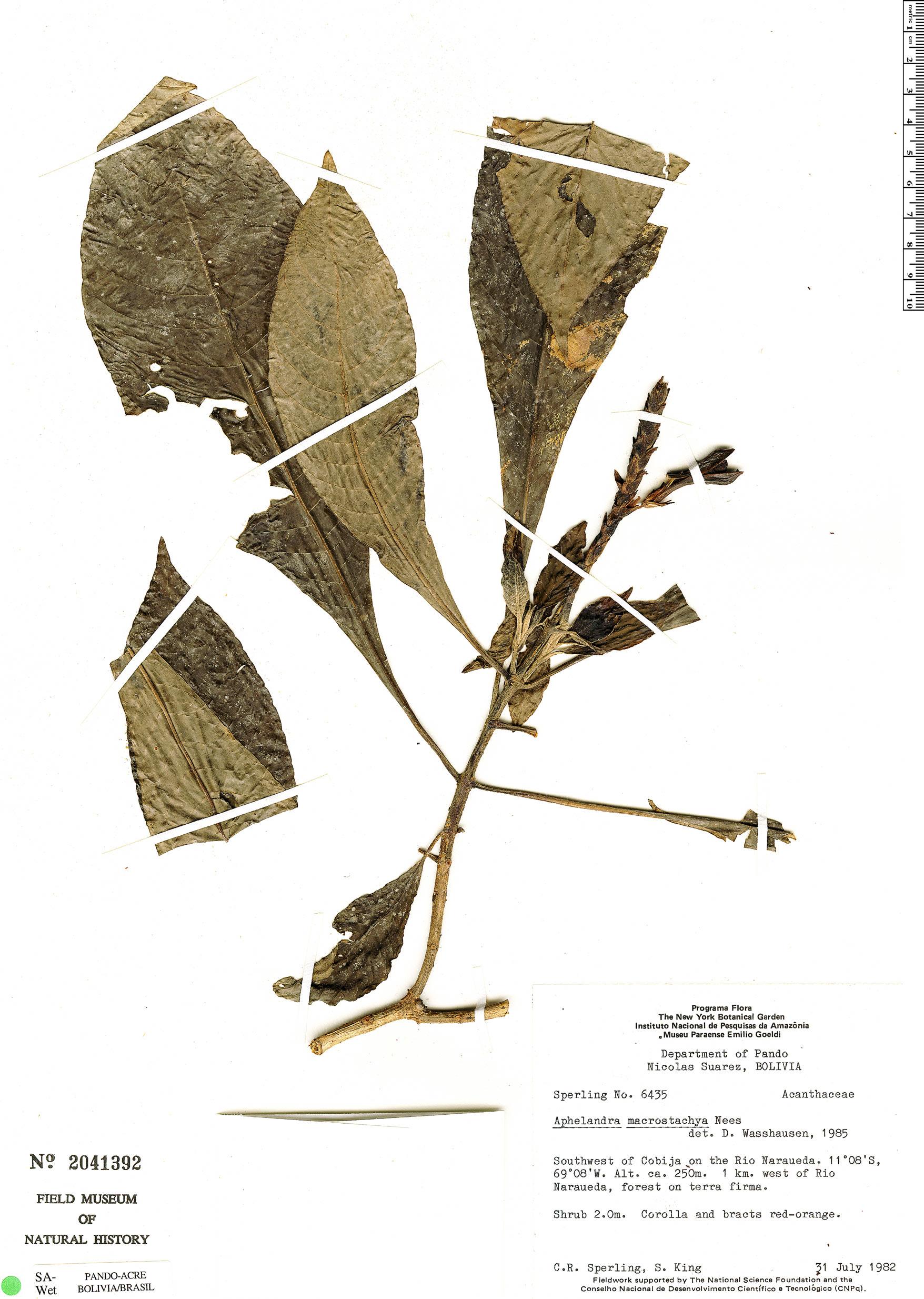 Specimen: Aphelandra macrostachya