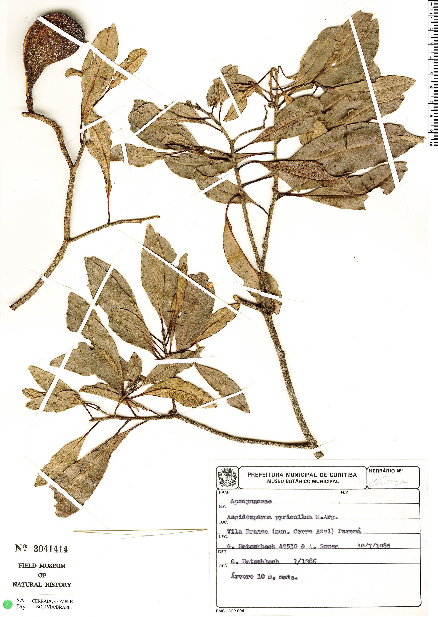 Specimen: Aspidosperma pyricollum