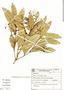 Tetragonoderus (Peronoscelis), Brazil, J. Silva 98, F