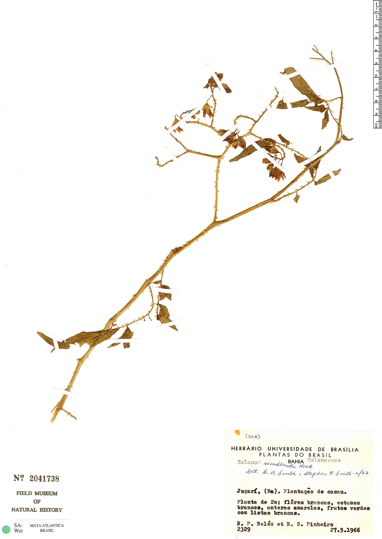 Espécime: Solanum alternatopinnatum